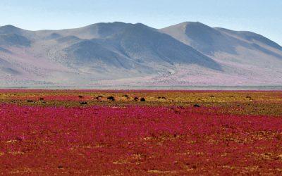 Atacama lanza primera campaña para preservar el desierto florido